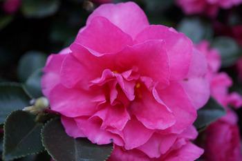 椿の花です.jpg